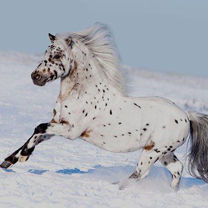 Koce zimowe do 165 cm (Kuc szetlandy)